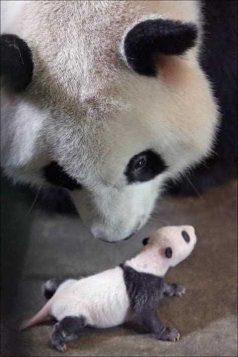 Baby Panda One best 25 baby pandas ideas on pandas panda
