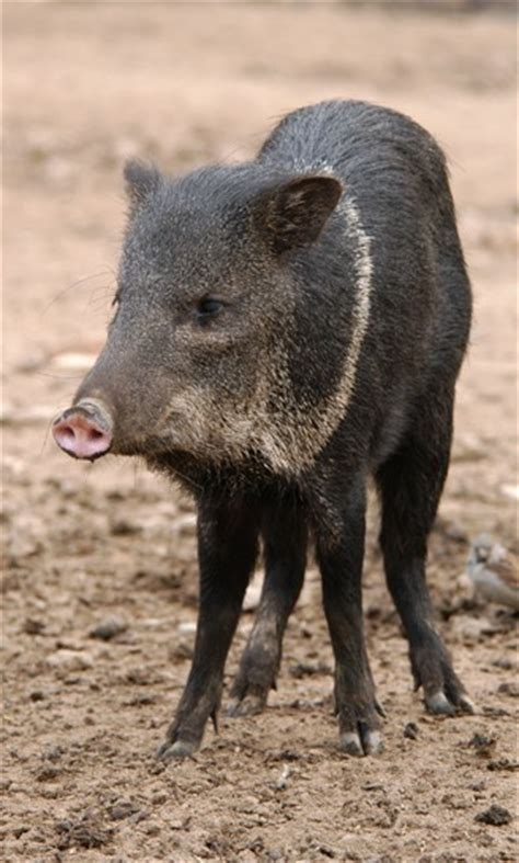 ecology conservation and management of pigs and peccaries books collared peccary pecari tajacu about animals