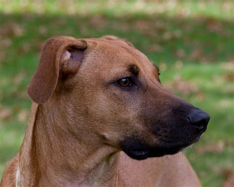 black cur black cur info temperament puppies facts pictures