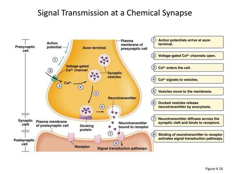 chemical synapse diagram ppt topic 2d neurotransmission powerpoint presentation
