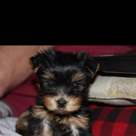 7 week yorkie puppy 17 best images about yorkies on pet odor eliminator grooms and yorkies