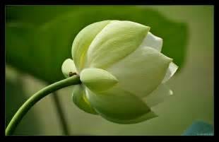 Lotus Bud Flower Picture Lotus Flower 1