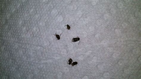 tiny black bugs in house small black bug in house universalcouncil info