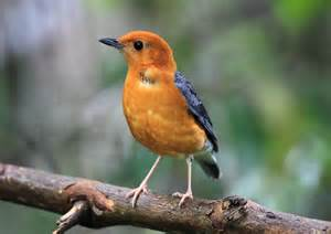 orange headed thrush 4736 a wild eye view