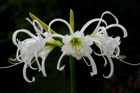 Geranium Flower Meaning - waimea s flower of love the agapanthus asynchronicity