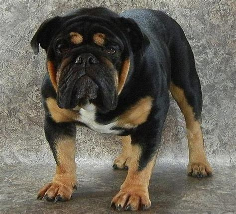 rottweiler and bulldog black sw bulldog stud service ohio bulldog breeder black black blue