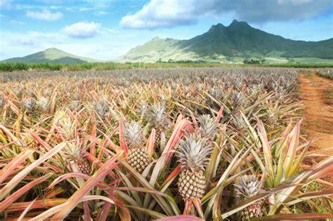 wann ist ananas reif ananas einpflanzen anzuchtanleitung ananas vegetative