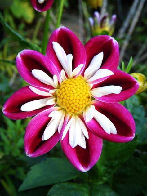 Beautiful Flower Dan Custom Nama dahlia flower photo and information my honeys place