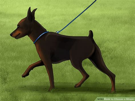 min pin images 3 ways to choose a minpin wikihow