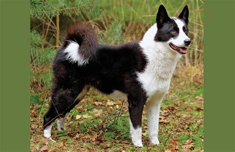 karelian puppies canadian kennel club club canin canadien