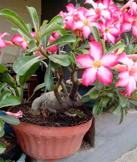 merawat bunga adenium agar berbunga lebat endangkusman