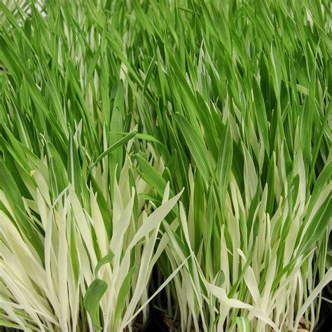 Gras Samen Kaufen 1781 gras samen kaufen g nstig kaufen 10000stk rohrschwingel