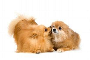 pomeranian pregnancy stages symptoms of a in heat