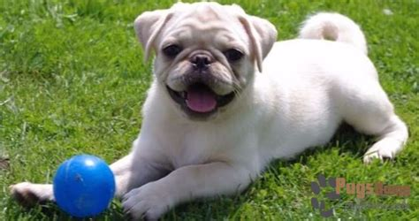 buy a pug puppy how to prepare for buying a white pug puppy pugs for sale guide