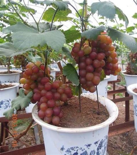 Menanam Anggur Hidroponik | cara menanam anggur dalam pot sistemhidroponik