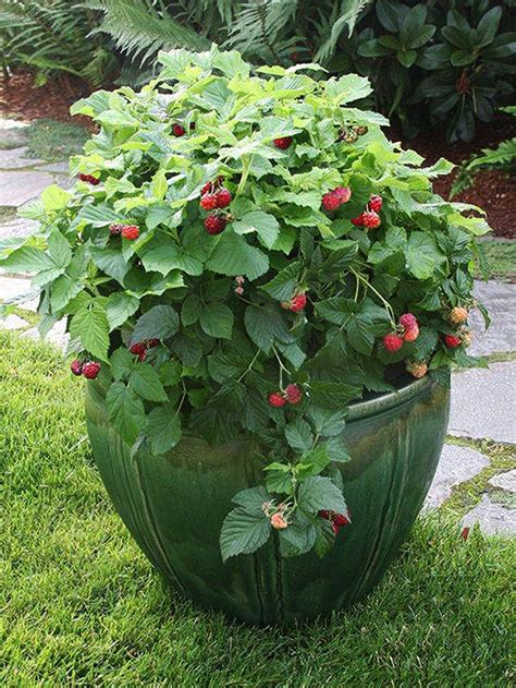 berries in containers