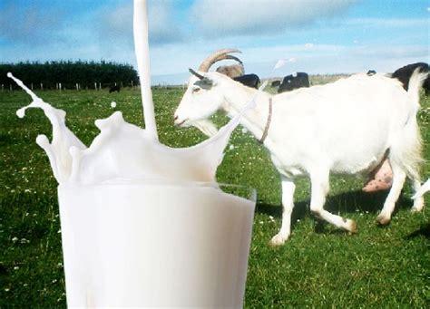 susu kambing kaya manfaat  kesehatan  coba