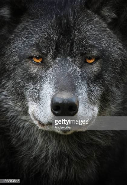 black images wolf stock photos and pictures getty images