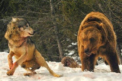 imagenes de leones y osos 25 de las mejores fotos de animales en la naturaleza upsocl
