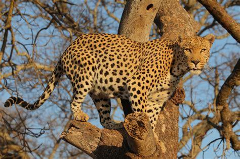 s leopard leopard lebensweise fakten verbreitung in s 252 dafrika
