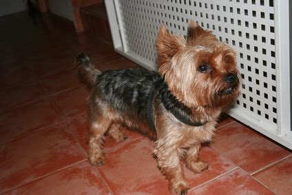 signs of yorkie labor genetic problems in yorkies pets