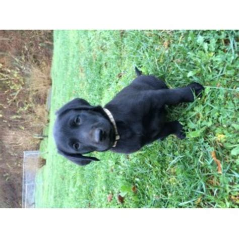 lab puppies kentucky lab breeders in new hshire rachael edwards