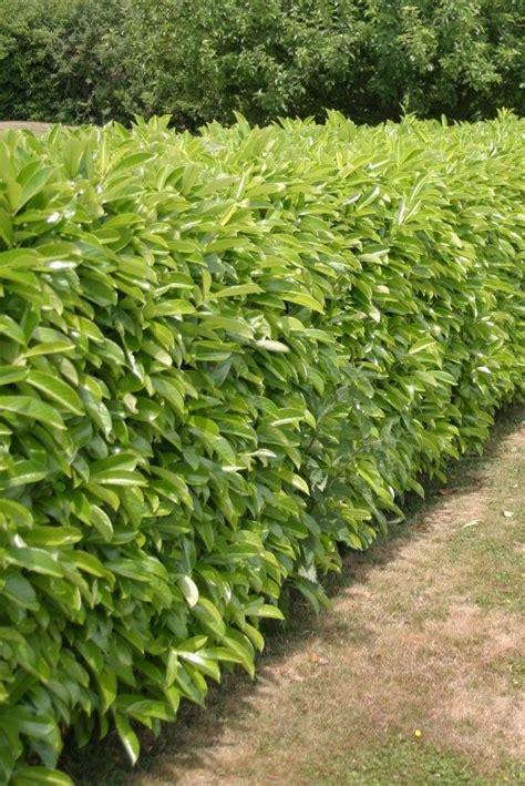 Ordinaire Haie De Jardin Feuillage Persistant #1: prunus-z.jpg