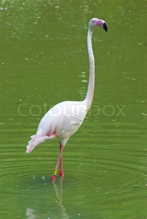 white flamingo white flamingo in the water stock photo colourbox
