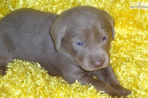 grey lab puppies for sale dogs and puppies for sale and adoption oodle marketplace