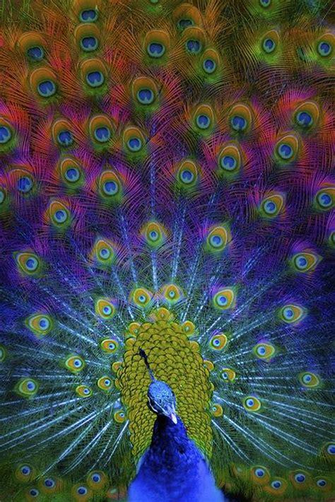 peacock colors let your colors shine on litchfield park arizona