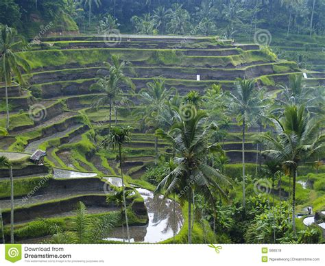 Lifetime Design Indonesia   rice terrace in bali indonesia royalty free stock photos