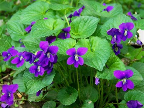 violetta fiore violetta fiore piante annuali caratteristiche