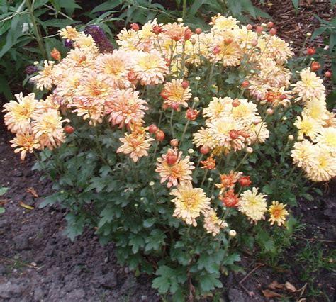 fall blooming perennials alberta perennial trials chrysanthemum tiger tail av 2 alberta perennial trials