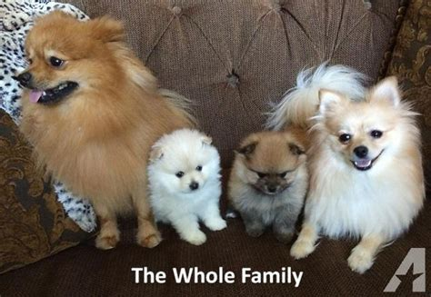 pomeranian for sale in dallas 2 akc miniature pomeranian puppies chion bred parents for sale in dallas