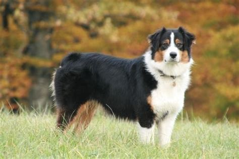 breeds that start with p dangerous breeds breeds that start with p house breeds breeds picture
