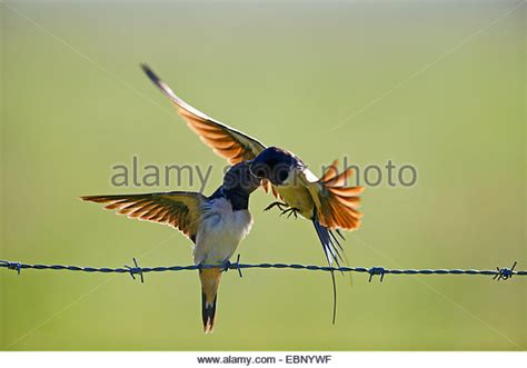 swallow feeding young stock photos swallow feeding young