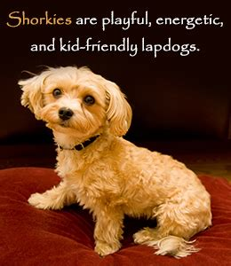 shih tzu yorkie mix facts facts about the shih tzu yorkie mix breed