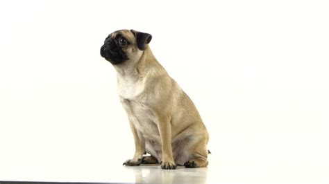 pug begging pug sitting and begging for food and licked white background by kinomaster