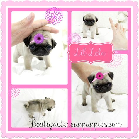 teacup pugs for sale cheap the 25 best pugs for sale ideas on baby pugs for sale pug puppies for