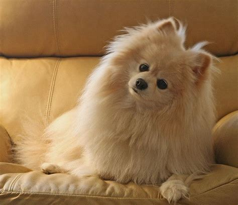 titanic pomeranian pin by angela lawson on pomeranians to types of dogs and on being