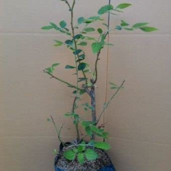 Jual Bibit Buah Blueberry jual bibit tanaman blueberry 50 60 cm hidup bibitbunga