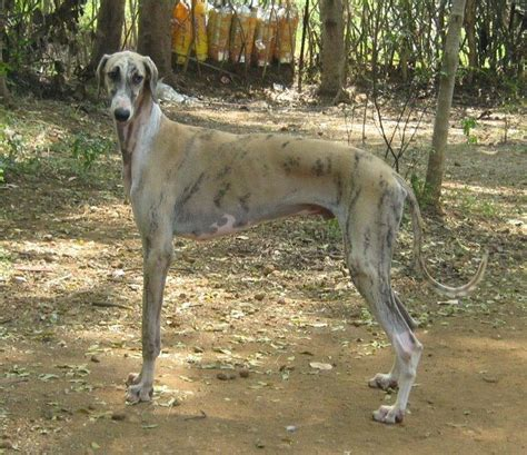can you ship puppies caravan hound puppies for sale arun thangasamy 1 10336 dogs for sale price of