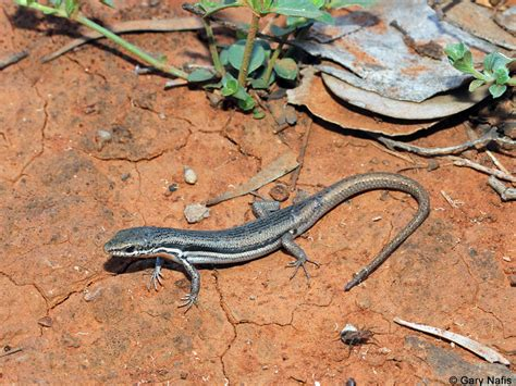 australian backyard lizards 28 images brooks ctenotus