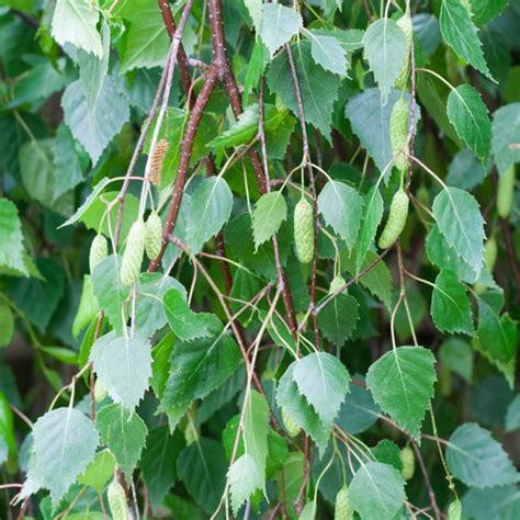 Topiary Sale - buy betula pendula youngii weeping birch tree 10 12cm girth available for sale online