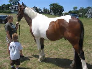 Displaying 18 gt images for pinto horses