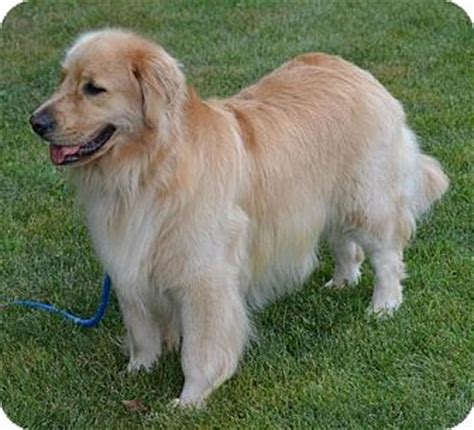 missouri golden retriever rescue pet not found