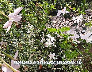 gelsomino fiori secchi erbe in cucina aromatiche e ornamentali il gelsomino