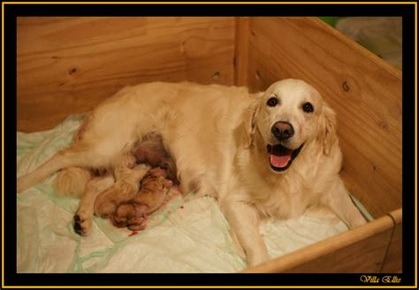 comprar golden retriever comprar cachorros de golden retriever photo