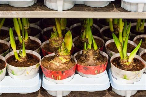 p i fruits new covent garden 27 best amaryllis images on covent garden