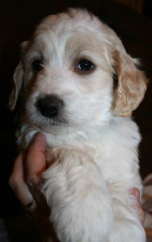goldendoodle puppies for sale in colorado goldendoodle puppy for sale in colorado